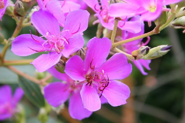 flor , órgão reprodutor de certas plantas ( angiospermas ), que